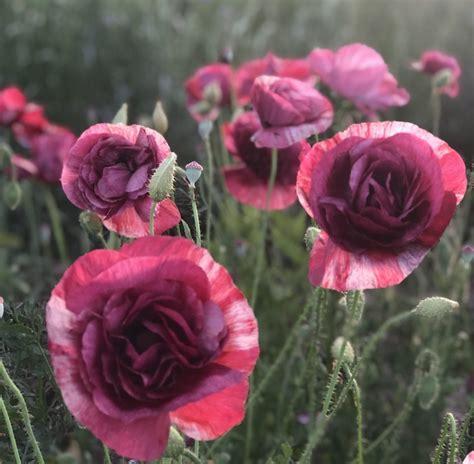 Poppy 'Pandora'