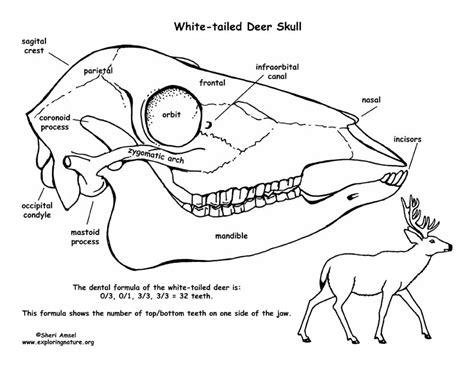 white tailed deer skull diagram  labeling