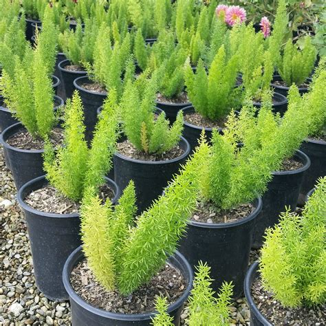 asparagus densiflorus myersii foxtail fern mid
