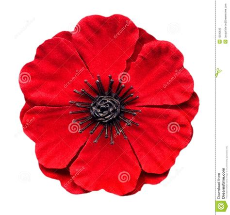 red poppy royalty  stock photo image