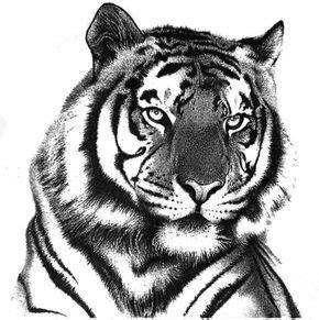 100 desenhos de tigres tigers tigre desenho arte de
