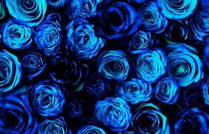 Blue roses - Flowers & Nature Background Wallpapers on ...