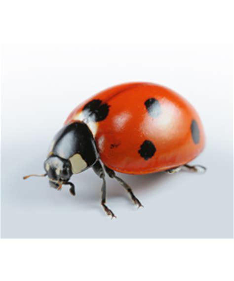 Risks and prevention of asian ladybug allergy jpg 375x450