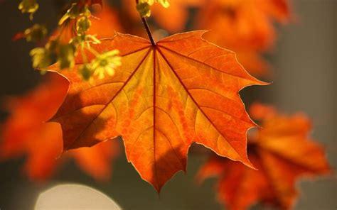 Orange Leaf Wallpaper by Hd Orange Leaf Wallpaper Free 57741