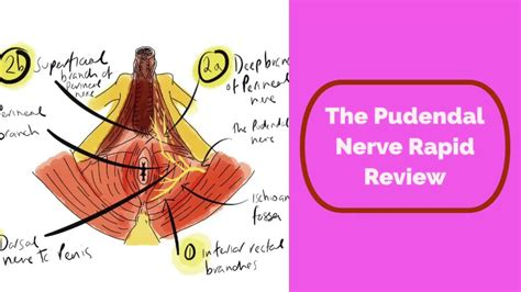 Pudendal Nerve Rapid Review Youtube