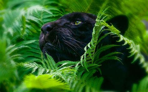 Panther Animal Wallpaper - black panther backgrounds wallpaper cave