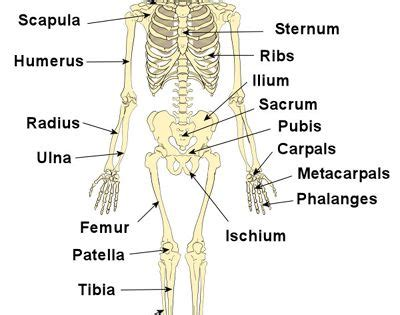skeleton pictures   page   find simple