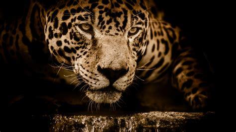 wallpaper jaguar hd  animals