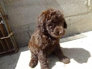 Chocolate Goldendoodle Puppies