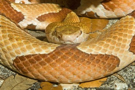 Copperhead 14374js 02 22 best images about copperhead snakes on