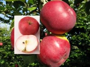 Großen Apfelbaum Kaufen : apfelbaum himbeerapfel von holowausy 60 80cm saftig und ~ Lizthompson.info Haus und Dekorationen