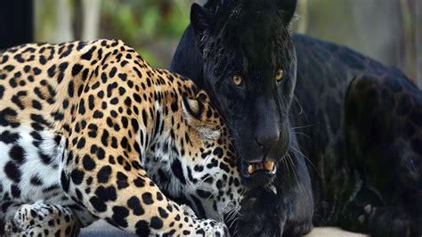 enquete exclusive  les animaux sauvages au coeur des