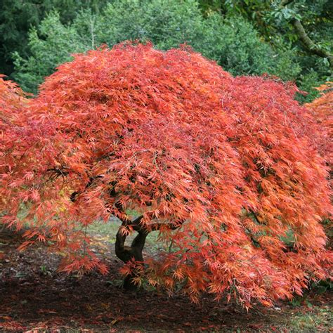 buy cut leaved japanese maple acer palmatum dissectum delivery by crocus
