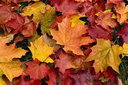 Leaves Fall Autumn Leaf Fallen