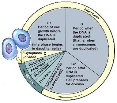Introduction To Cell Cycle Tutorvistacom