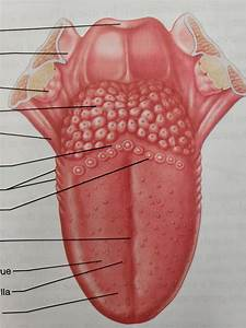 Diagram Of The Tongue  This Is In Your Mouth Right Now
