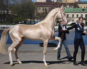 Supermodel of the Horse World: the Golden Akhal-Teke ...