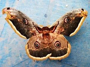 Galería de imágenes: Mariposas nocturnas
