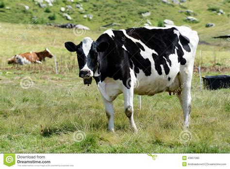 dairy farm with holstein cows in pasture and three silos black and white holstein cow stock photo image of white