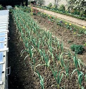 Culture De L Ail : ail planter et cultiver ooreka ~ Melissatoandfro.com Idées de Décoration