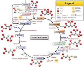 citric acid cycle wikipedia