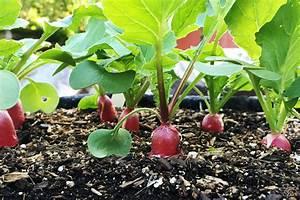 Culture Des Radis : planter un radis ~ Melissatoandfro.com Idées de Décoration
