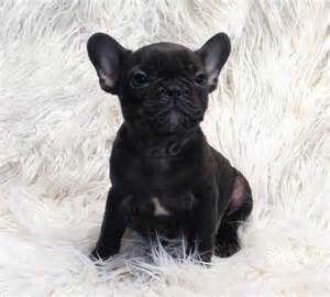 resume australia model french bulldog puppy for sale brindle 1 1 becky lamb