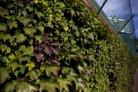 turning  wrigley ivy adds  shade  cubs world