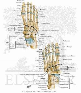Ankle And Foot Bone Anatomy