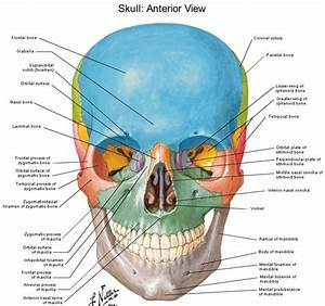 Human Anatomy Diagram Of Skull With Radiographic Land