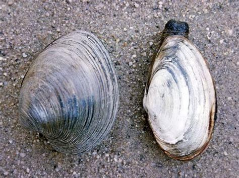 Maine Shellfishermen Hope Quahog Explosion Can Help Offset