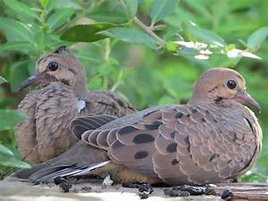 juvenile mourning doves | lost gander