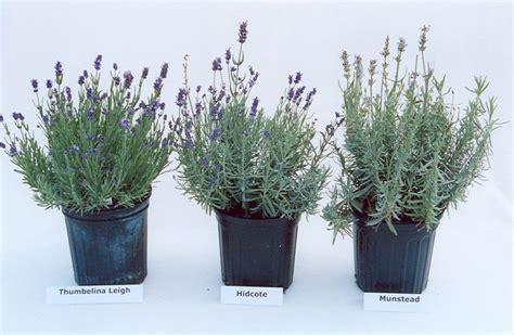 augustifolia lavenders  images types  lavender