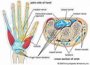 Carpal Bone