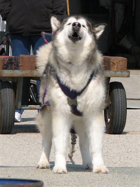 do malamutes shed 100 100 do huskies or malamutes does malamute shed