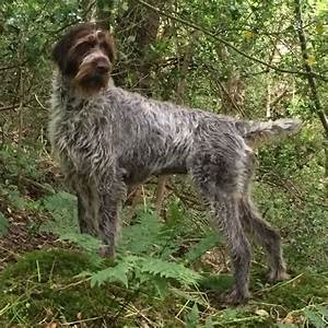 German Wirehaired Pointer Puppies For Sale   Carluke ...