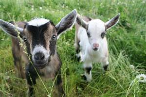 A Neighborly Letter  With Goats  U2014 Greylock Independent