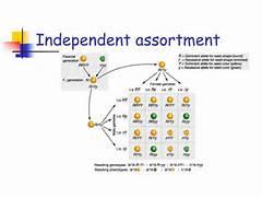 Independent assortment...