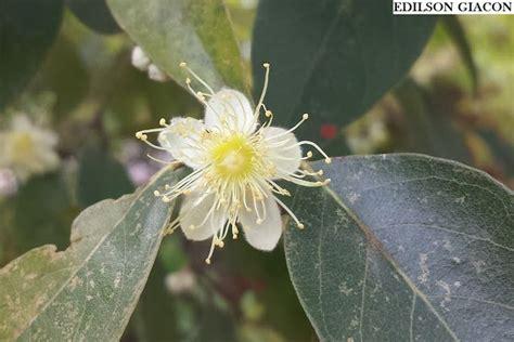 Viveiro Ciprest - Plantas Nativas e Exóticas: Pessego do ...