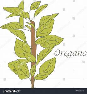 Oregano Herb Stock Vector 68872750 - Shutterstock
