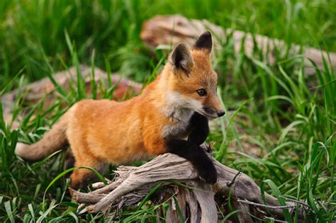 how cute pet foxes steal your heart image in collection by cathy on we it