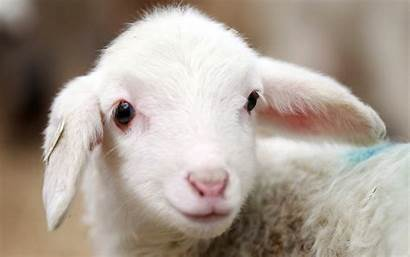 Adorable Lamb Backgrounds Pixelstalk