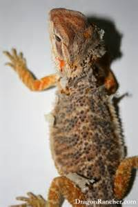 pin funny bearded dragon on pinterest