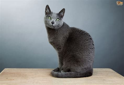 Blue Cats - russian blue cat breed facts highlights buying advice