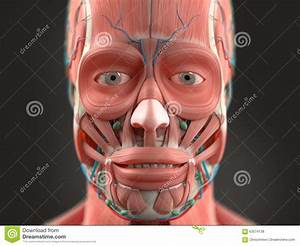 Human Anatomy Showing Head  Nose  Face  Stock Photo