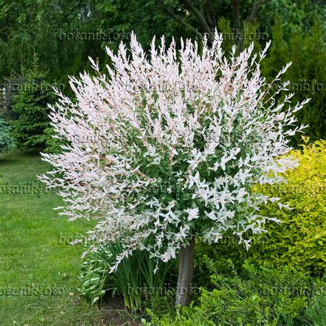 salix hakuro nishiki image dappled willow salix integra hakuro nishiki 490172 images and of plants and