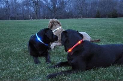 Collar Dog Led Hound Hard