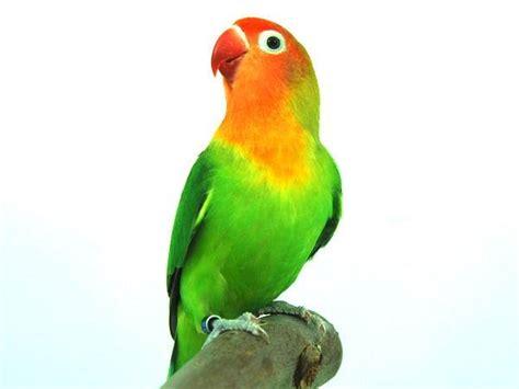 totul despre papagal amorez
