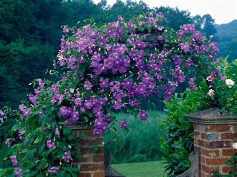 best climbing vines guide to climbing clematis plants hgtv