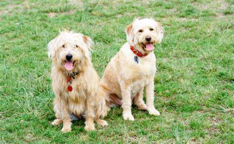 Burkes Backyard Dogs by Labradoodle Burke S Backyard